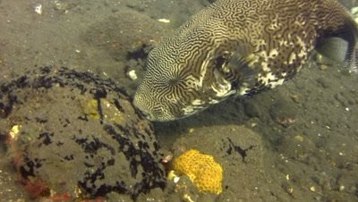 Map pufferfish (Arothron mappa) eating