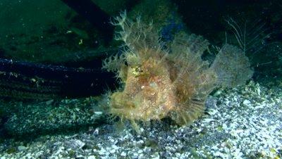 Lacy scorpionfish (Rhinopias aphanes)