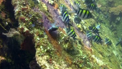 Sergeant major or Five-banded damselfish (Abudefduf vaigiensis) guarding their eggs