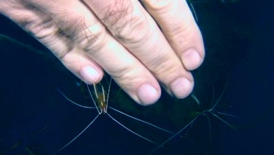 White-banded cleaner shrimp (Lysmata amboinensis) cleaning hand