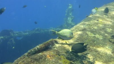Striped or lined surgeonfish (Acanthurus lineatus)
