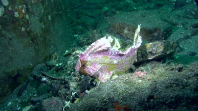 Spiny or indian ocean waspfish (Ablabys macracanthus) purple