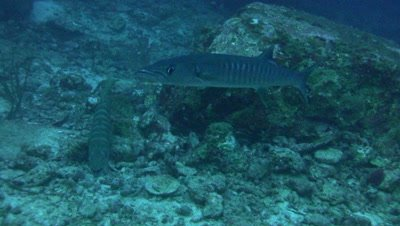 Blackfin barracuda (Sphyraena qenie) and pickhandle barracuda (Sphyraena jello)