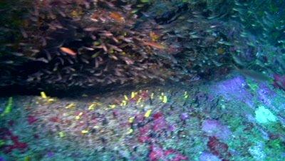 Glassfishes between rocks and red emperor snapper (Lutjanus sebae)