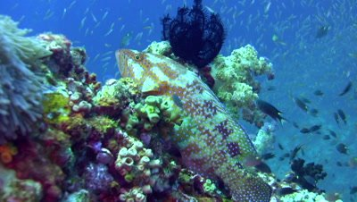 Coral or Vermilion grouper (Cephalopholis miniata)