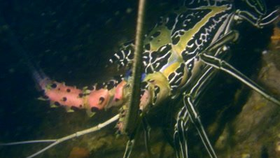 Painted spiny lobster (Panulirus versicolor),close up