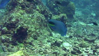 Roundhead parrotfish (Chlorurus strongycephalus)