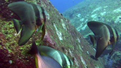 Tall-fin batfish (Platax teira) among boulders