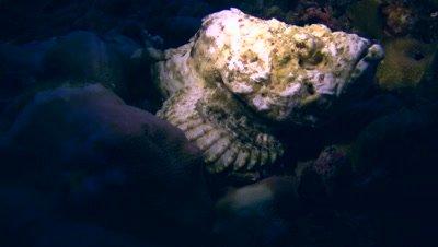 Devil or Humpback scorpionfish (Scorpaenopsis diabolus)