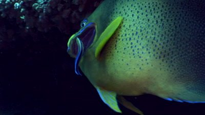 Semicircle angelfish (Pomacanthus semicirculatus) being cleaned by bluestreak wrasse