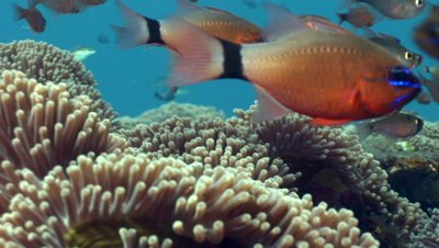 Ringtail cardinalfish (Apogon aureus) hovering on top of anemones