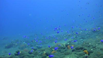 Neon Damselfishes (Pomacentrus coelestis),group