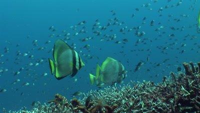 Shaded batfish (Platax pinnatus) and batavia batfish (Platax batavianus) together