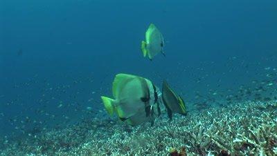 Batavia batfish (Platax batavianus) hovering on top of acropora coral