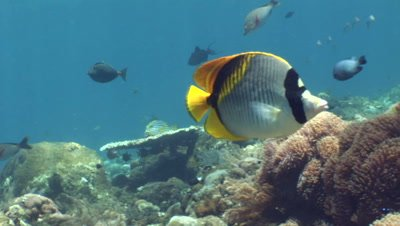 Pig-face or Spot-nape butterflyfish (Chaetodon oxycephalus)