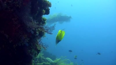 Long-nose butterflyfish (Forcipiger flavissimus)