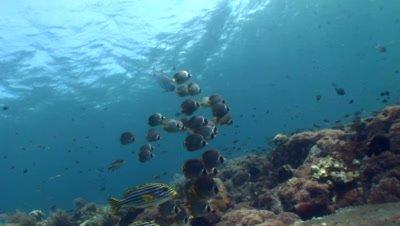 Panda or Eye-patch butterflyfish (Chaetodon adiergastos) in group
