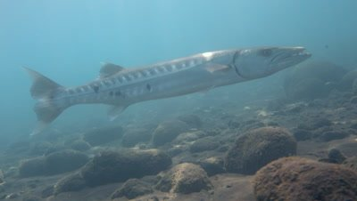 Great barracuda (Sphyraena barracuda) hovering on sand