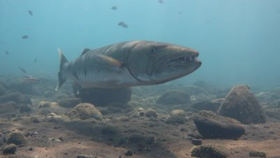 Great barracuda (Sphyraena barracuda) hovering,from front showing its teeth