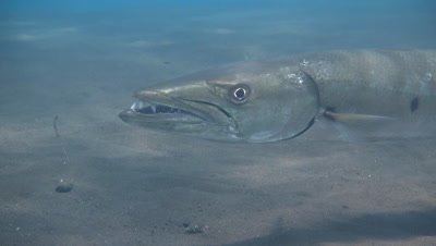 Great barracuda (Sphyraena barracuda) hovering,from side,head close up