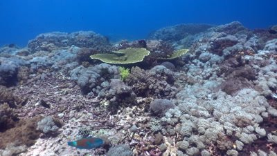 Hard and soft coral reef full of tropical fishes,drifting with current