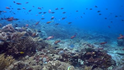 Hard and soft coral reef full of tropical fishes with blue-spotted pufferfish (Arothron caeruleopunctatus)