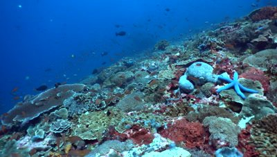 Hard and soft coral reef full of tropical fishes and blue sea star