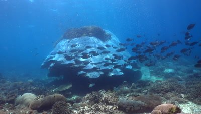Huge hard coral boomie with school of sleek unicornfish (Naso hexacanthus)