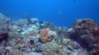 Hard and soft coral reef with titan triggerfish (Balistoides viridescens)