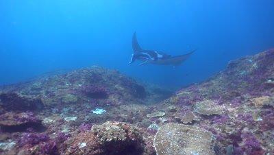 Manta ray (Manta blevirostris) swimming very close