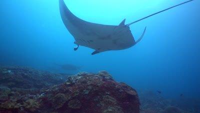 4 Manta ray (Manta blevirostris) swimming over coral reef
