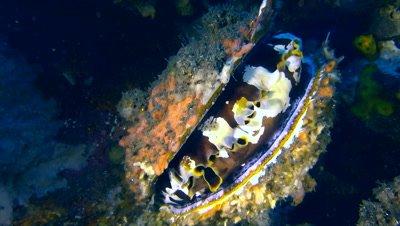 Thorny oyster (Spondylus varius) closing