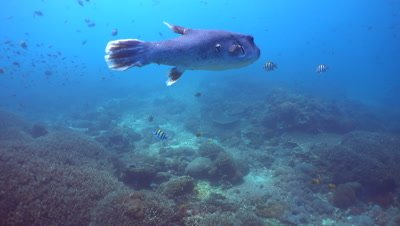 Starry pufferfish (Arothron stellatus) swimming over coral reef