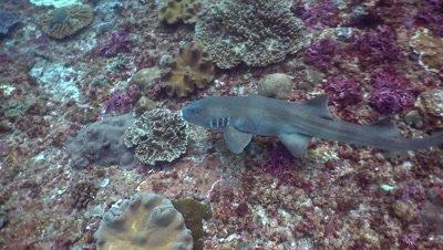 Tawny nurse shark (Nebrius ferrugineus) swimming over coral reef