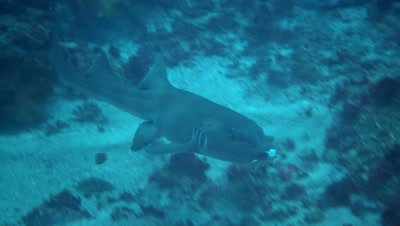 Tawny nurse shark (Nebrius ferrugineus) swimming over coral reef