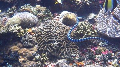 Banded sea krait (Laticauda colubrina) swimming