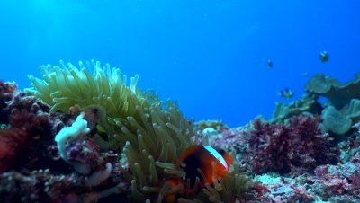 Tomato or Bridled anemonefish (Amphiprion frenatus)