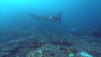 Manta rays (Manta blevirostris) from above