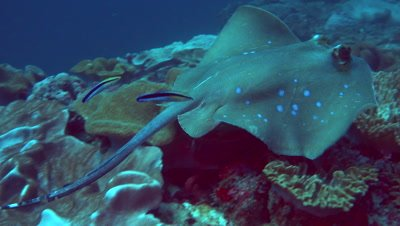 Blue-spotted stingray (Dasyatis kuhlii) swimming over reef