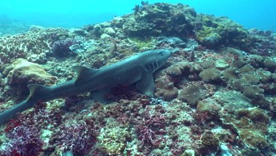 Tawny nurse shark (Nebrius ferrugineus) swimming over reef