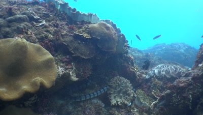 Banded sea krait (Laticauda colubrina) swimming up