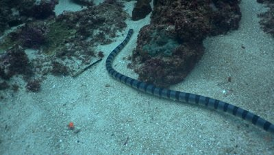 Banded sea krait (Laticauda colubrina) moving with the waves
