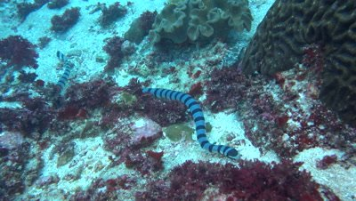 Banded sea krait (Laticauda colubrina) swimming