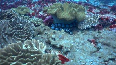 Banded sea krait (Laticauda colubrina) looking for food