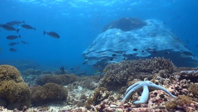 Huge hard coral boomie with blue sea star