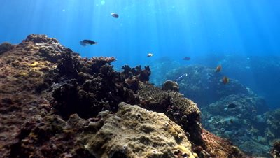 Hard and soft coral reef with clown triggerfish (Balistoides conspicillum)