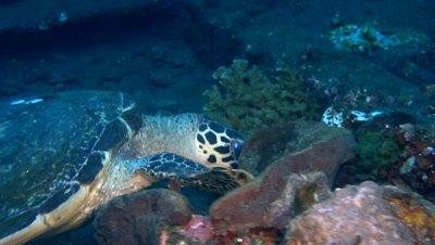Hawksbill turtle (Eretmochelys imbricata) looking for food