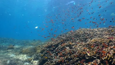 Hard and soft coral reef full of tropical fishes with a lot of plastic drifting