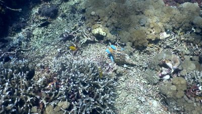 Shell eating blue sea star