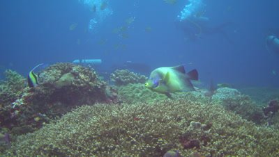 Semicircle angelfish (Pomacanthus semicirculatus) with divers in the backgound